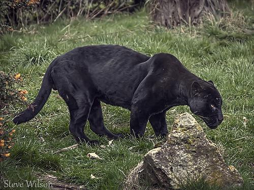 黒いジャガー